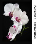 White Orchid With Purple Cente...