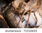 Female Huntsman Spider Carry...