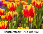 beautiful tulips flower closeup ... | Shutterstock . vector #715106752