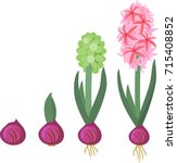hyacinth growth stage. life...   Shutterstock .eps vector #715408852