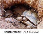 African Spurred Tortoise At...