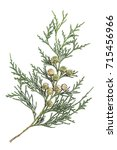 twig branch of cypress with... | Shutterstock . vector #715456966