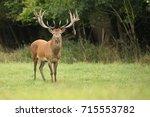 red deer standing in the green...   Shutterstock . vector #715553782