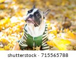 cute puppy french bulldog... | Shutterstock . vector #715565788
