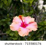 orange suffused with carmine...   Shutterstock . vector #715580176