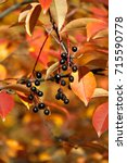 golden autmn leaves and berries | Shutterstock . vector #715590778