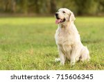 beauty golden retriever dog in... | Shutterstock . vector #715606345