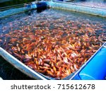 This Picture Show Red Tilapia...