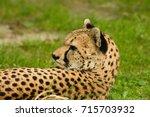Lying Down And Relaxing Cheeta...