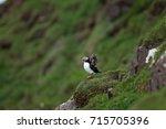 atlantic puffin  fratercula... | Shutterstock . vector #715705396