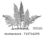 common polypody fern... | Shutterstock .eps vector #715716295