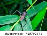 Small photo of Top view Male black Leaf Footed Bug, squash bug, clown bug, tip-wilter (Arthropoda: Insecta: Hemiptera: Coreidae: Acanthocephala terminalis) with orange black antenna crawling on a green leaf and stem