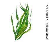 Kelp Seaweed  Watercolor...