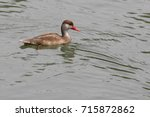 Male Red Crested Pochard In...
