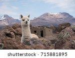 cute llama alpaca portrait... | Shutterstock . vector #715881895