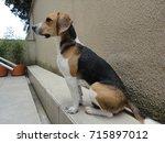 Portrait Handsome Beagle Puppy...