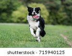 Black and white border collie...