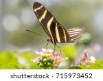 Small photo of Butterfly Zebra (Heliconius Charitonia) in a garden of Medellin, Colombia