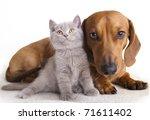 Stock photo british kitten and dog dachshund 71611402