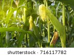 corn field in sunset  | Shutterstock . vector #716117782