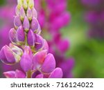 blooming lupin  lupine  lupinus ... | Shutterstock . vector #716124022