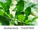 citrus hystrix  bergamot  leech ... | Shutterstock . vector #716207842