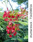 Small photo of Flamboyant tree flowers (Royal Poinciana,Delonix regia,Flame tree)
