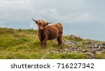 Highland Cow Cattle On Moor In...