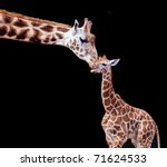 Stock photo mother and baby giraffe on a black background 71624533