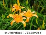 Hemerocallis Fulva Orange...