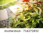 selective focus of green leaf... | Shutterstock . vector #716272852