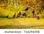 Wisconsin Wild Turkeys Fightin...