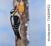 Small photo of A female Downy Woodpecker (Picoides pubescens) at winter suet.