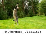 Stock photo cat jumping and playing on grass meadow 716311615