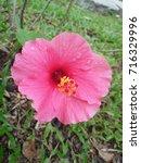 hibiscus rosa sinensis  chinese ... | Shutterstock . vector #716329996