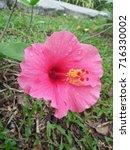 hibiscus rosa sinensis  chinese ... | Shutterstock . vector #716330002