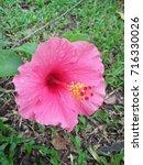 hibiscus rosa sinensis  chinese ... | Shutterstock . vector #716330026