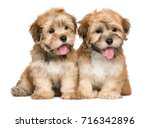 Stock photo two cute sitting havanese puppies isolated on white background 716342896