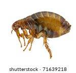 Flea or human flea   pulex...