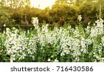 white angelonia flowers in the... | Shutterstock . vector #716430586