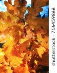 bright yellow oak leaves.... | Shutterstock . vector #716459866