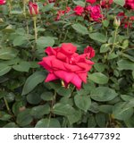 rosa 'national trust' ... | Shutterstock . vector #716477392