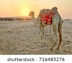 the camel turn back and look at ... | Shutterstock . vector #716485276