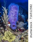 Small photo of Coral reef in Carbiiean Sea Azure Vase Sponge Callyspongia plicifera