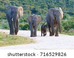 family of elephants from addo... | Shutterstock . vector #716529826