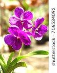 Small photo of Purple Vanda Orchid