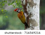 Greater Flameback Woodpecker ...
