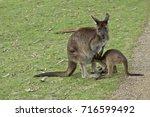 The Kangaroo Island Kangaroo I...