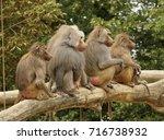 4 Baboons  Genus Papio  Sittin...