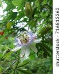 Small photo of Passiflora caerulea (Passion Flowers)